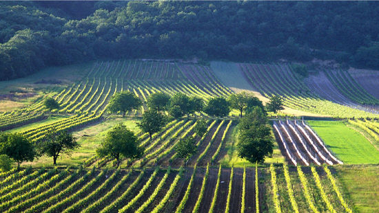 A picture shows vineyards in the Leithaberg DAC Region