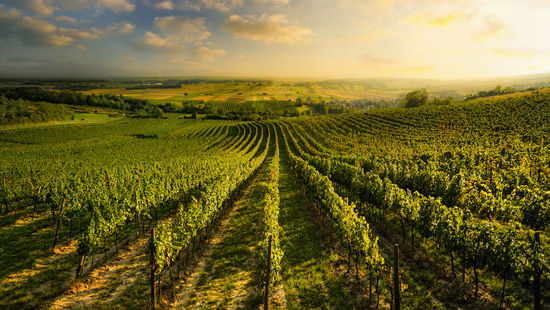 A picture shows a vineyard in Prottes in the Weinviertel.